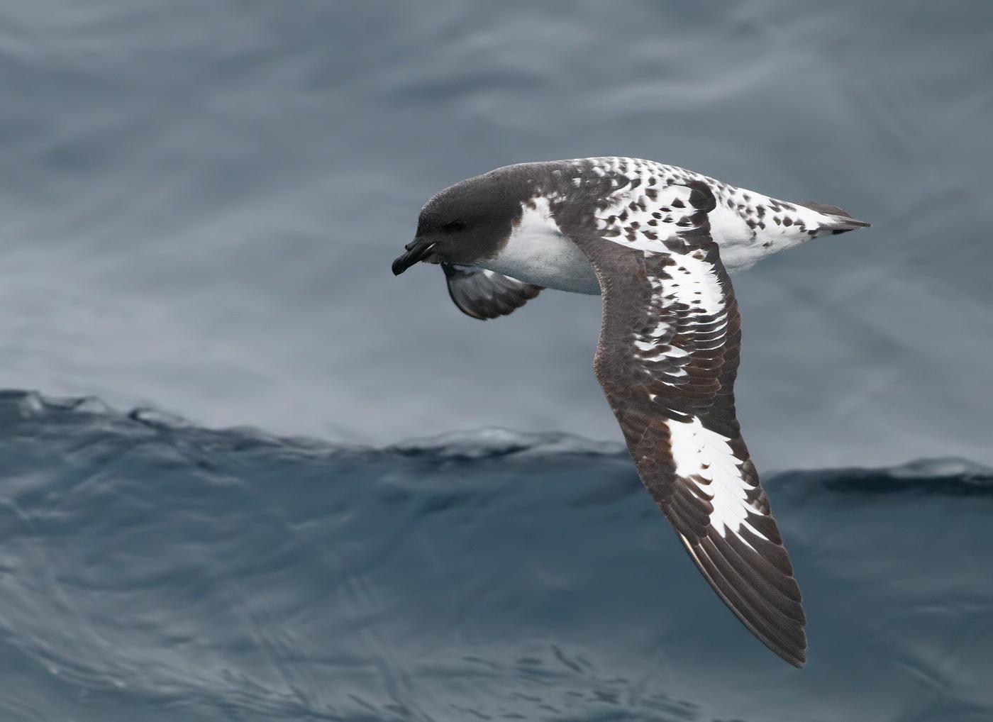 Cape Petrel (Image ID 34578)