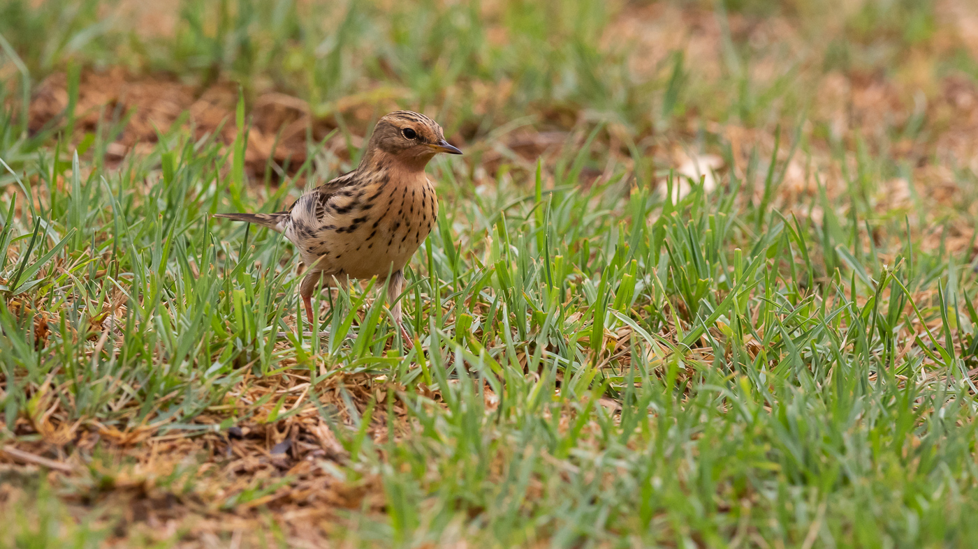 Red-throated Pipit (Image ID 34500)