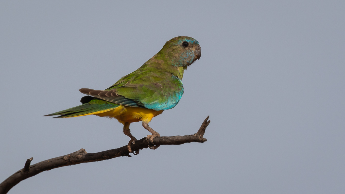 Scarlet-chested Parrot (Image ID 34463)