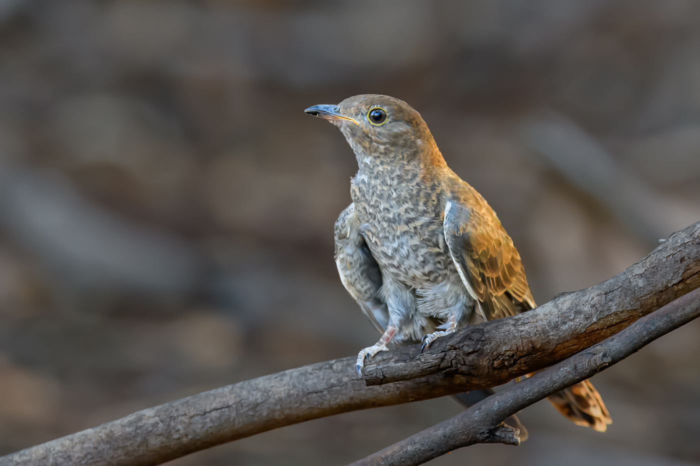 Fan-tailed Cuckoo (Image ID 35005)