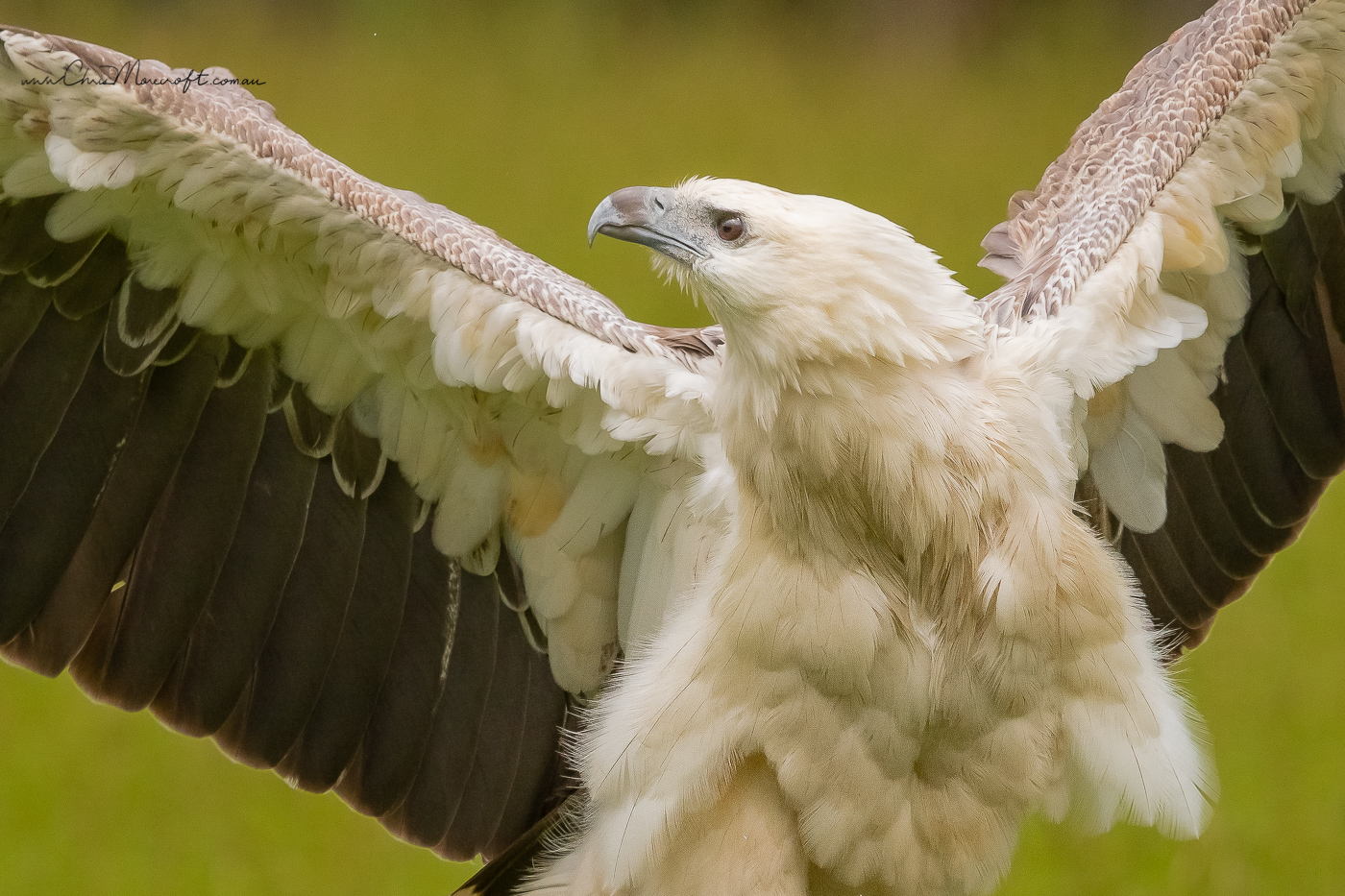 White-bellied Sea-Eagle (Image ID 34669)