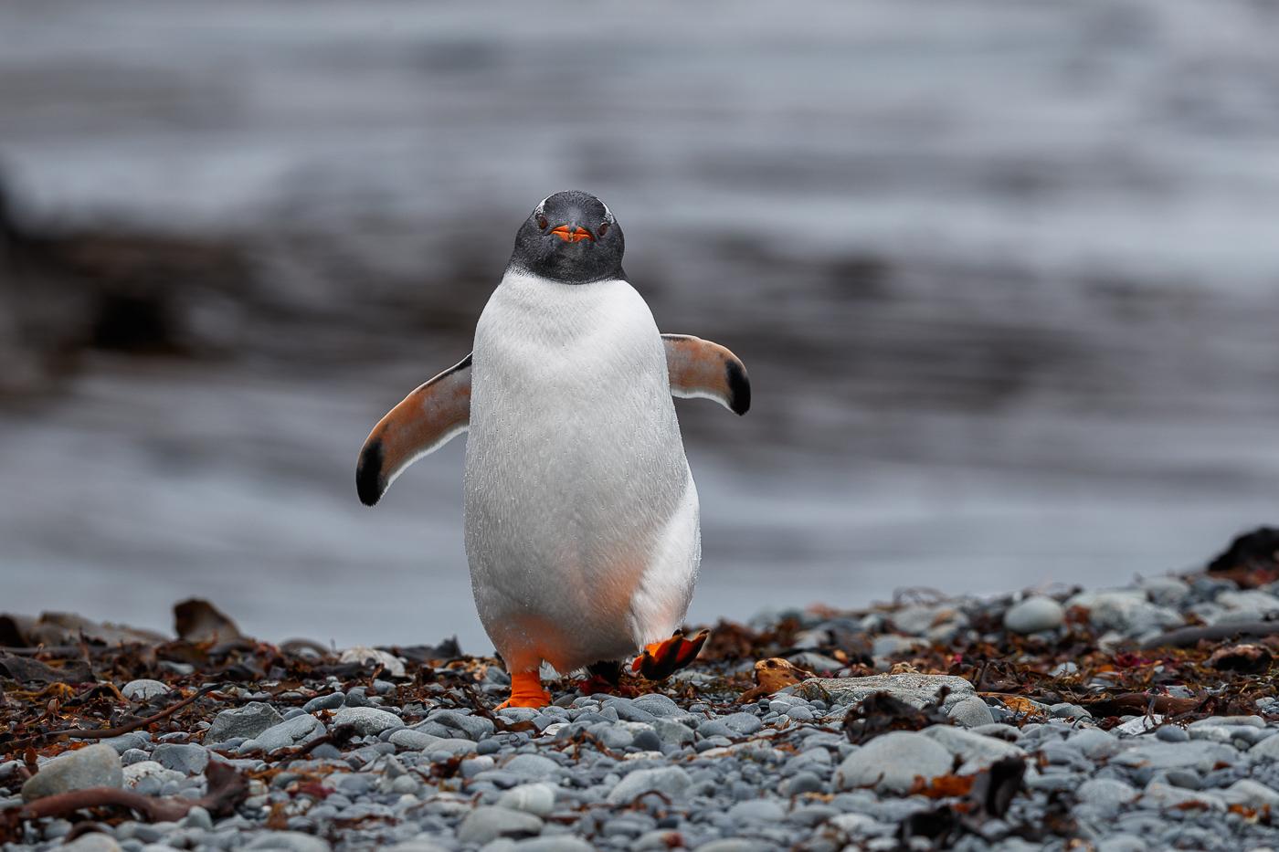 Gentoo Penguin (Image ID 34733)