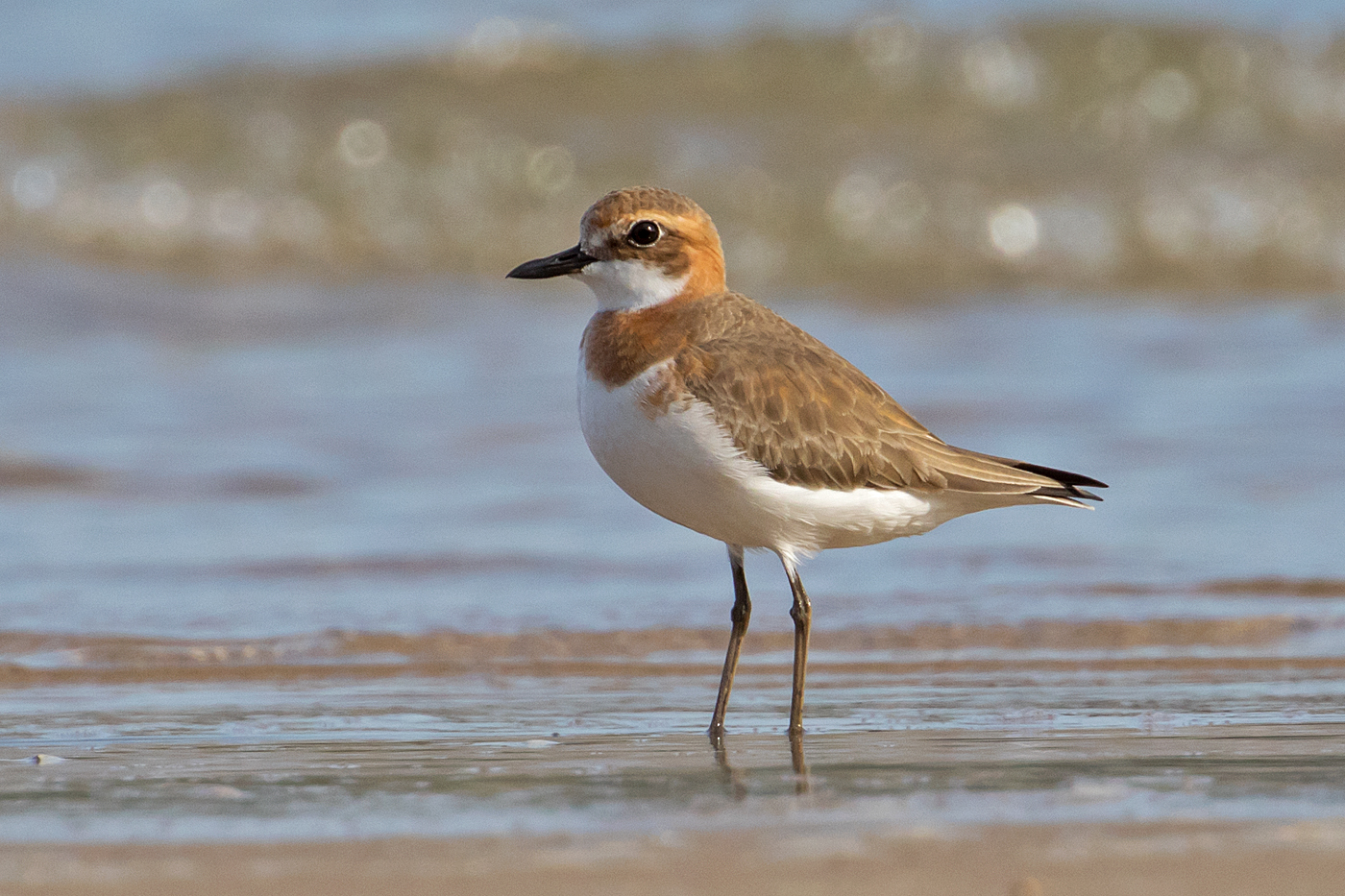 Greater Sand Plover (Image ID 34713)