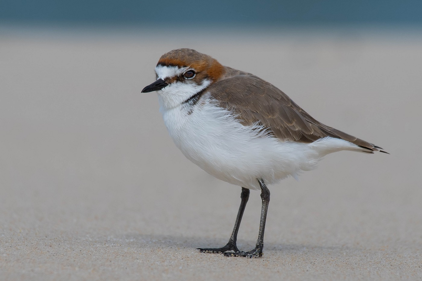 Red-capped Plover (Image ID 35031)