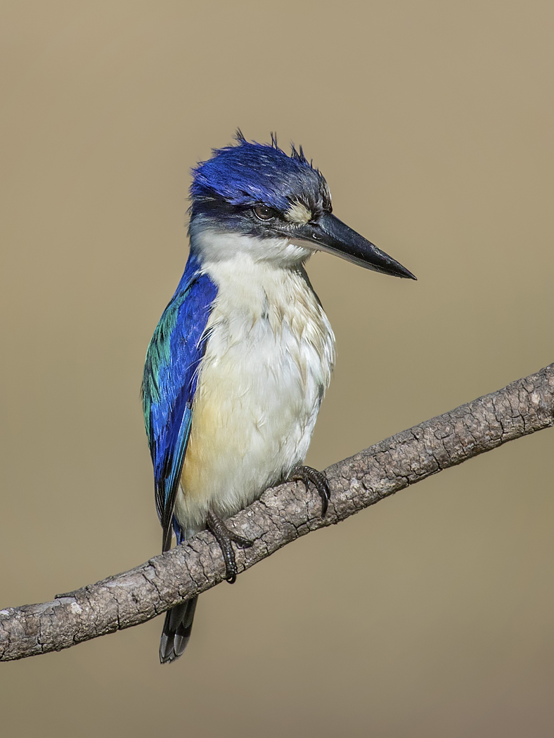 Forest Kingfisher (Image ID 34755)