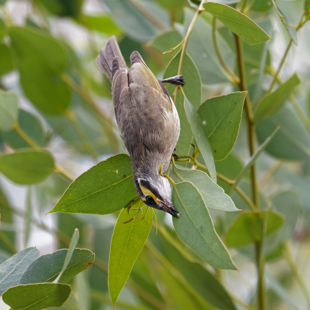 Yellow-faced Honeyeater (Image ID 34690)