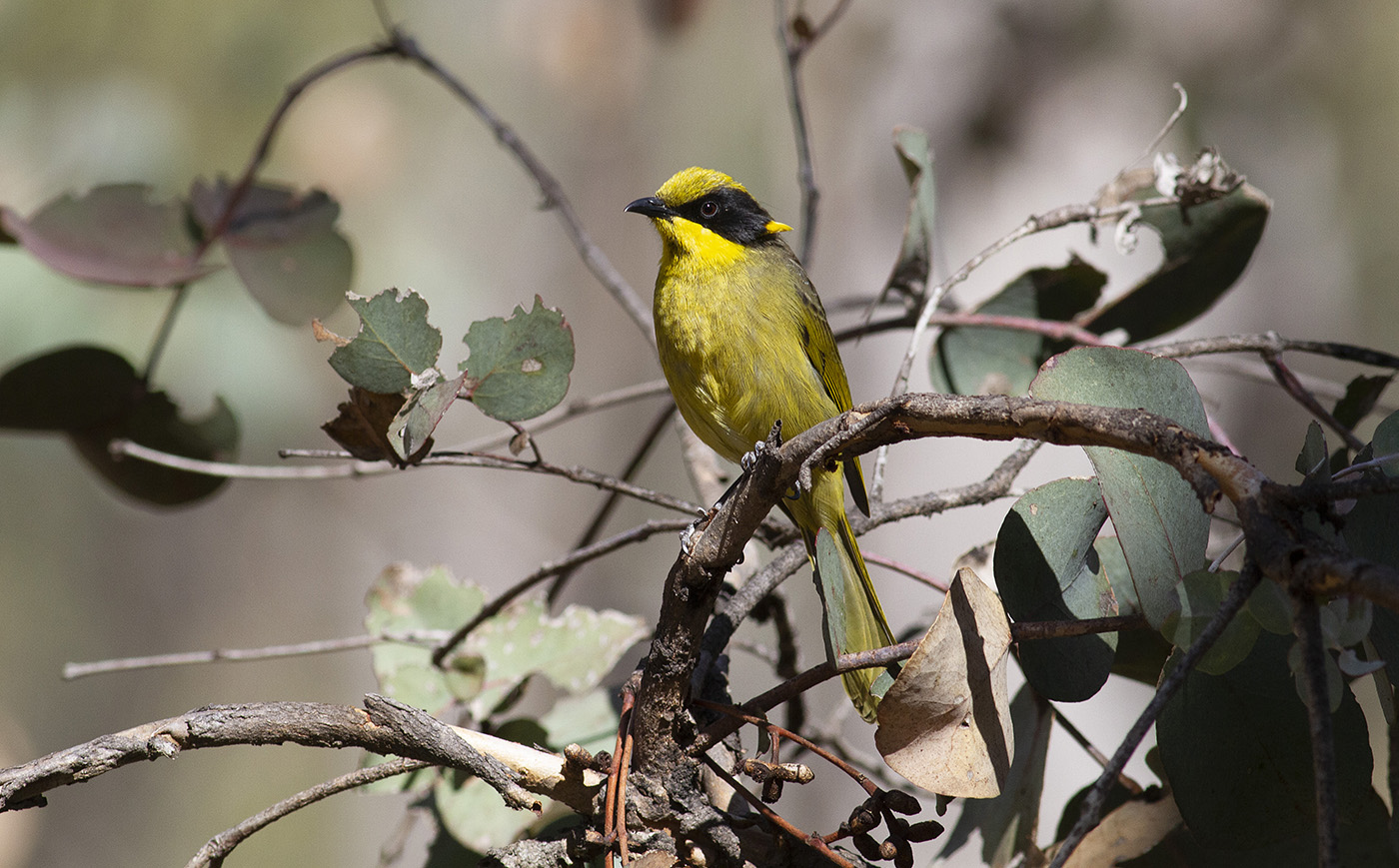 Yellow-tufted Honeyeater (Image ID 34831)