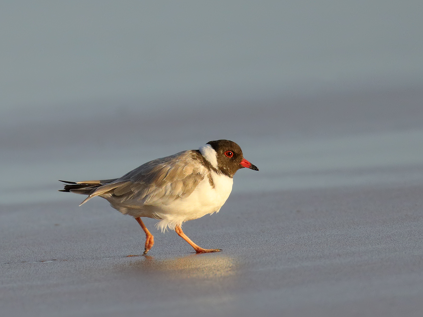 Hooded Plover (Image ID 35037)