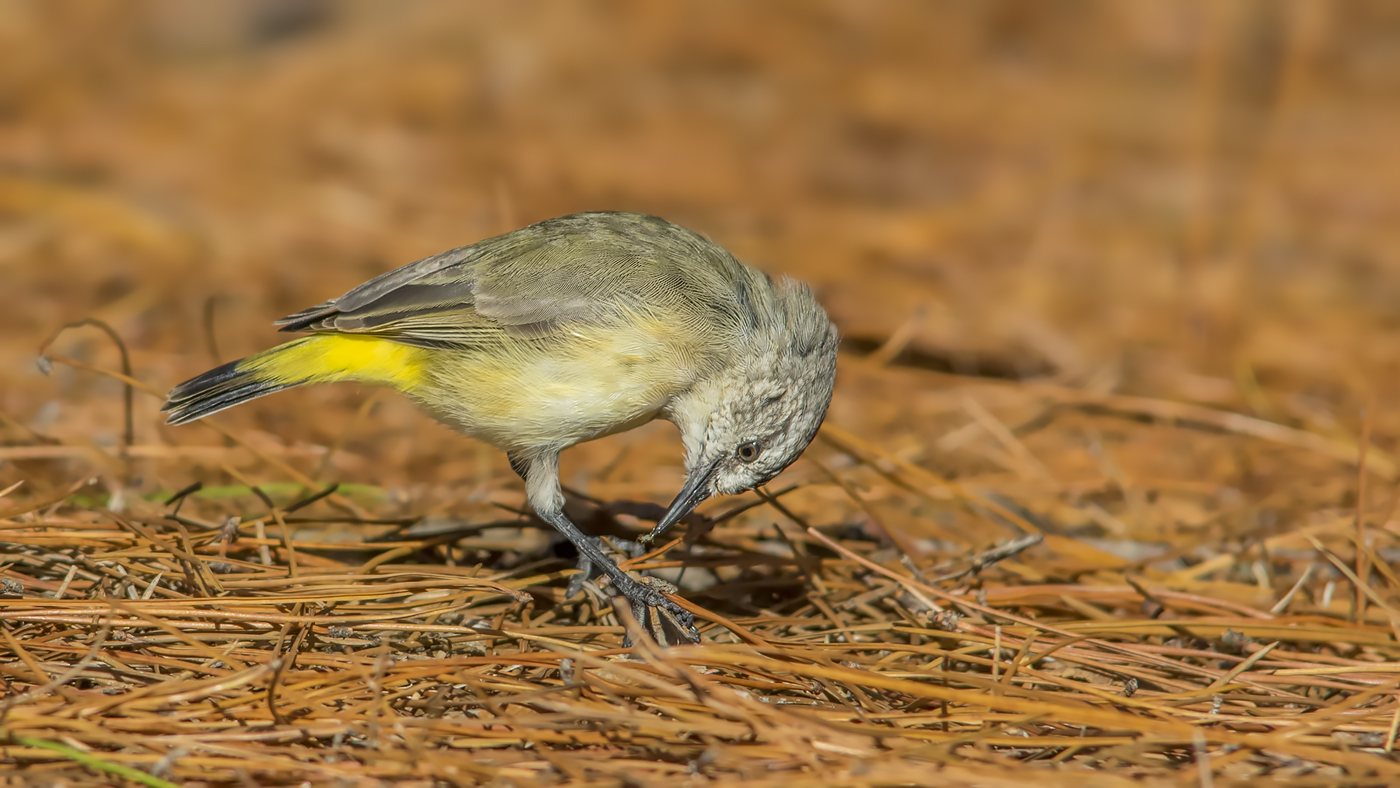 Yellow-rumped Thornbill (Image ID 34753)
