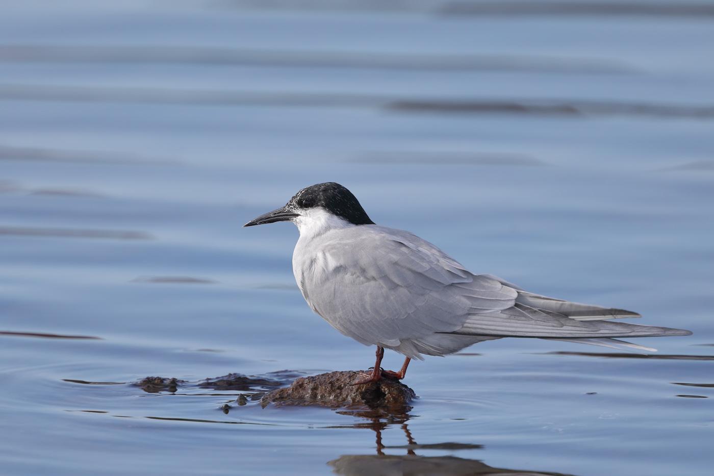 Common Tern (Image ID 34760)