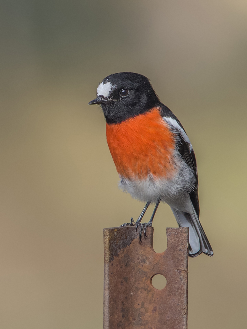 Scarlet Robin (Image ID 34754)