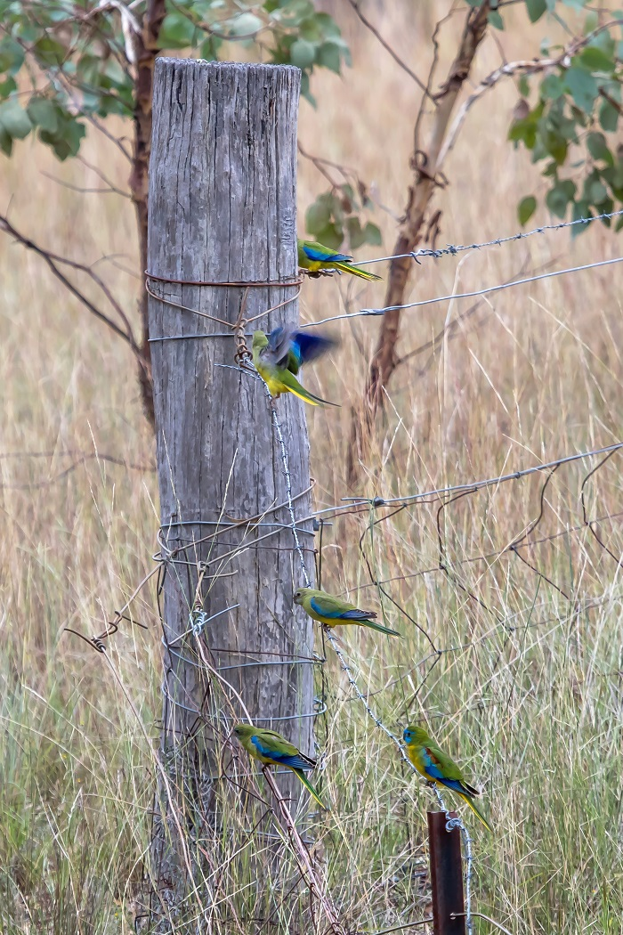 Turquoise Parrot (Image ID 35060)