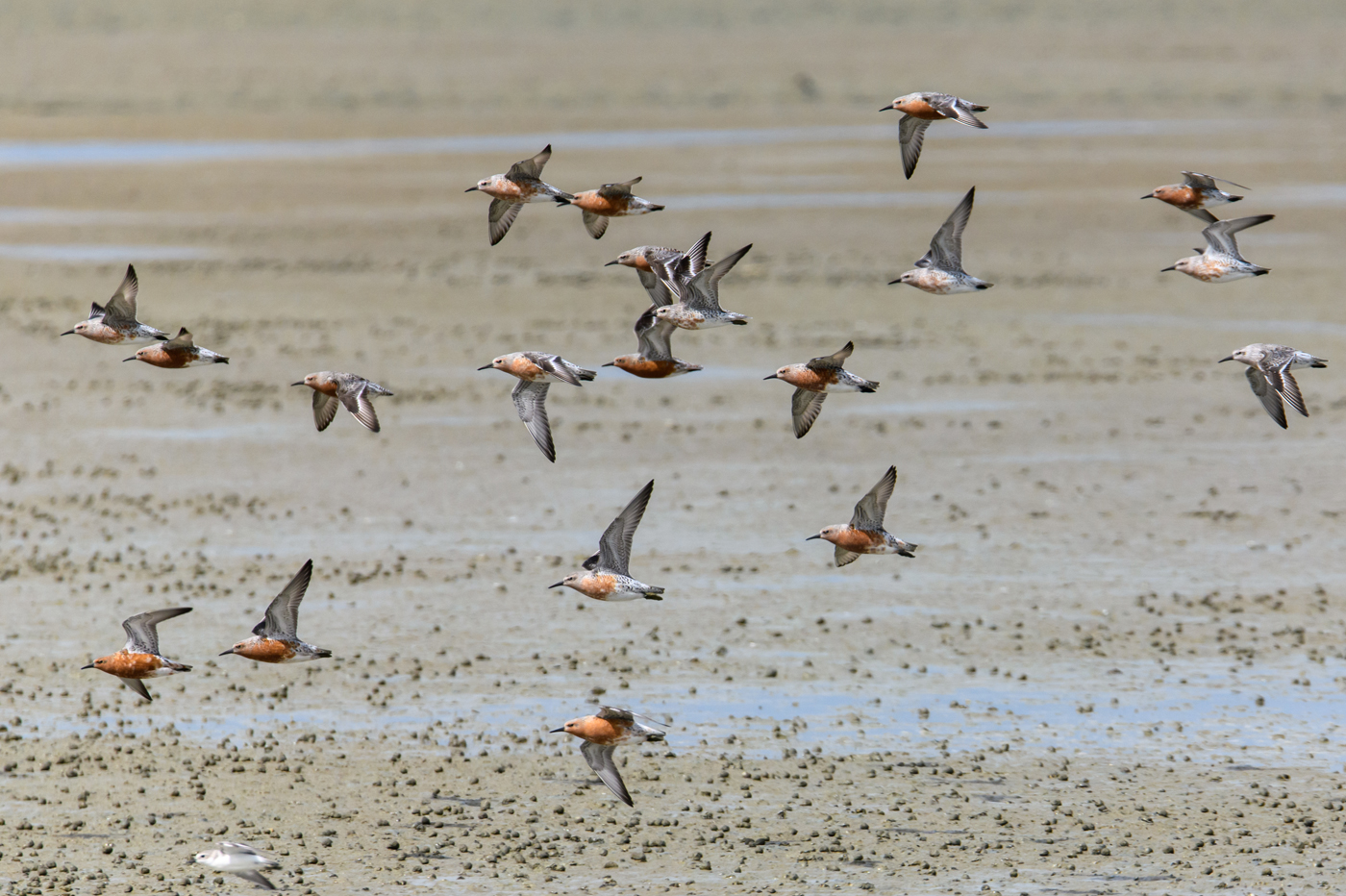 Red Knot (Image ID 35051)