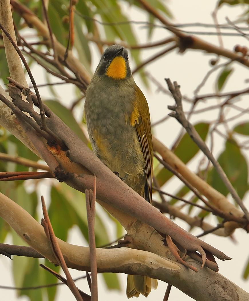 Yellow-throated Honeyeater (Image ID 34871)