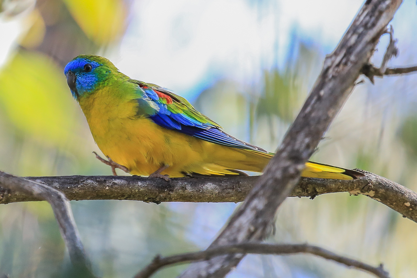 Turquoise Parrot (Image ID 34877)
