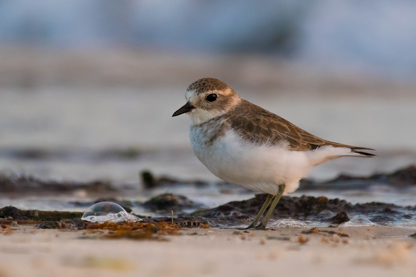 Double-banded Plover (Image ID 35033)