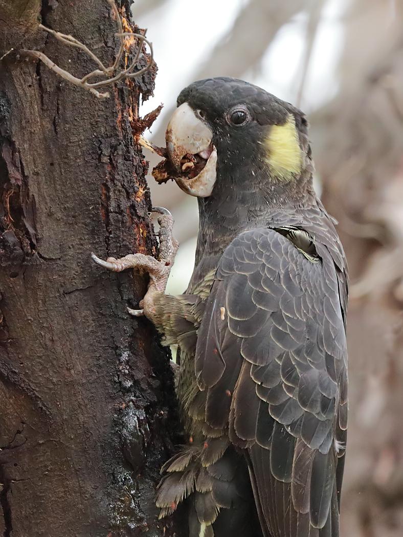 Yellow-tailed Black-Cockatoo (Image ID 34739)
