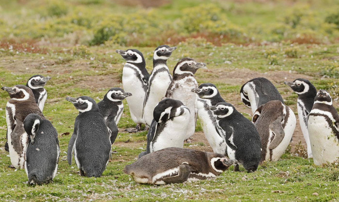 Magellanic Penguin (Image ID 34841)