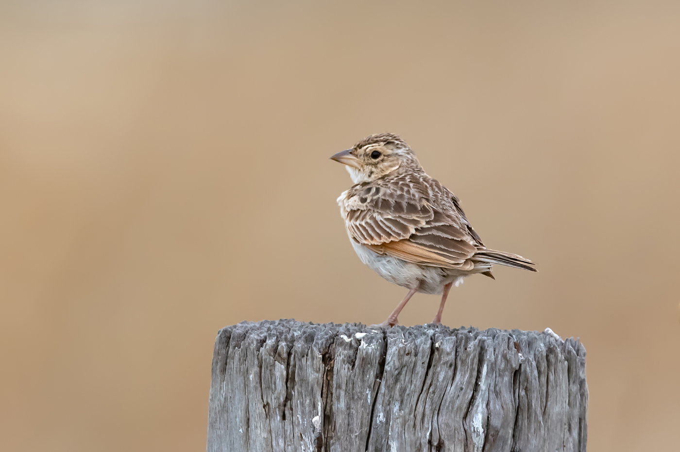 Horsfield's Bushlark (Image ID 34964)
