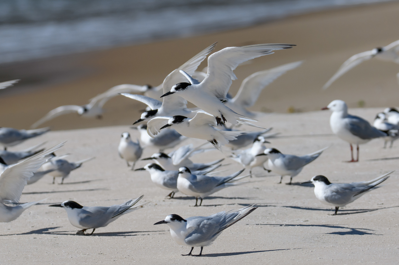White-fronted Tern (Image ID 35048)