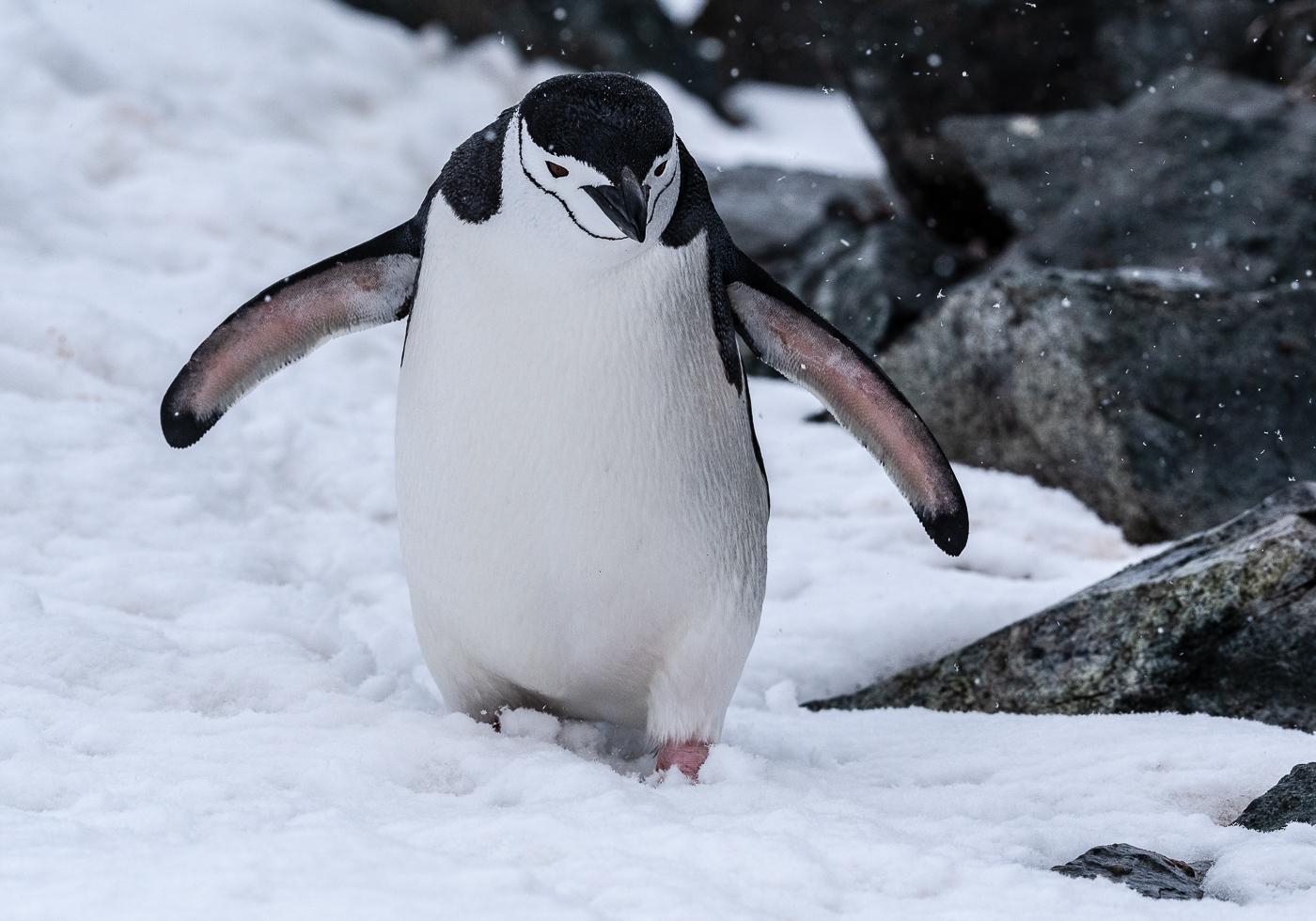 Chinstrap Penguin (Image ID 34723)