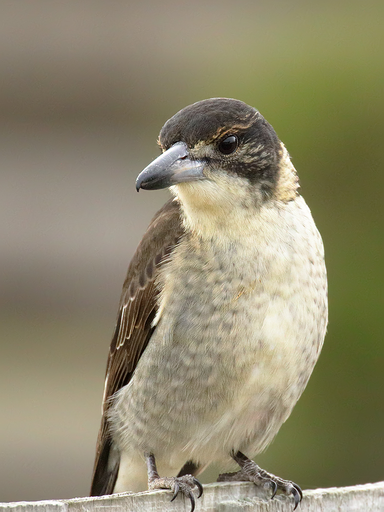 Grey Butcherbird (Image ID 35038)