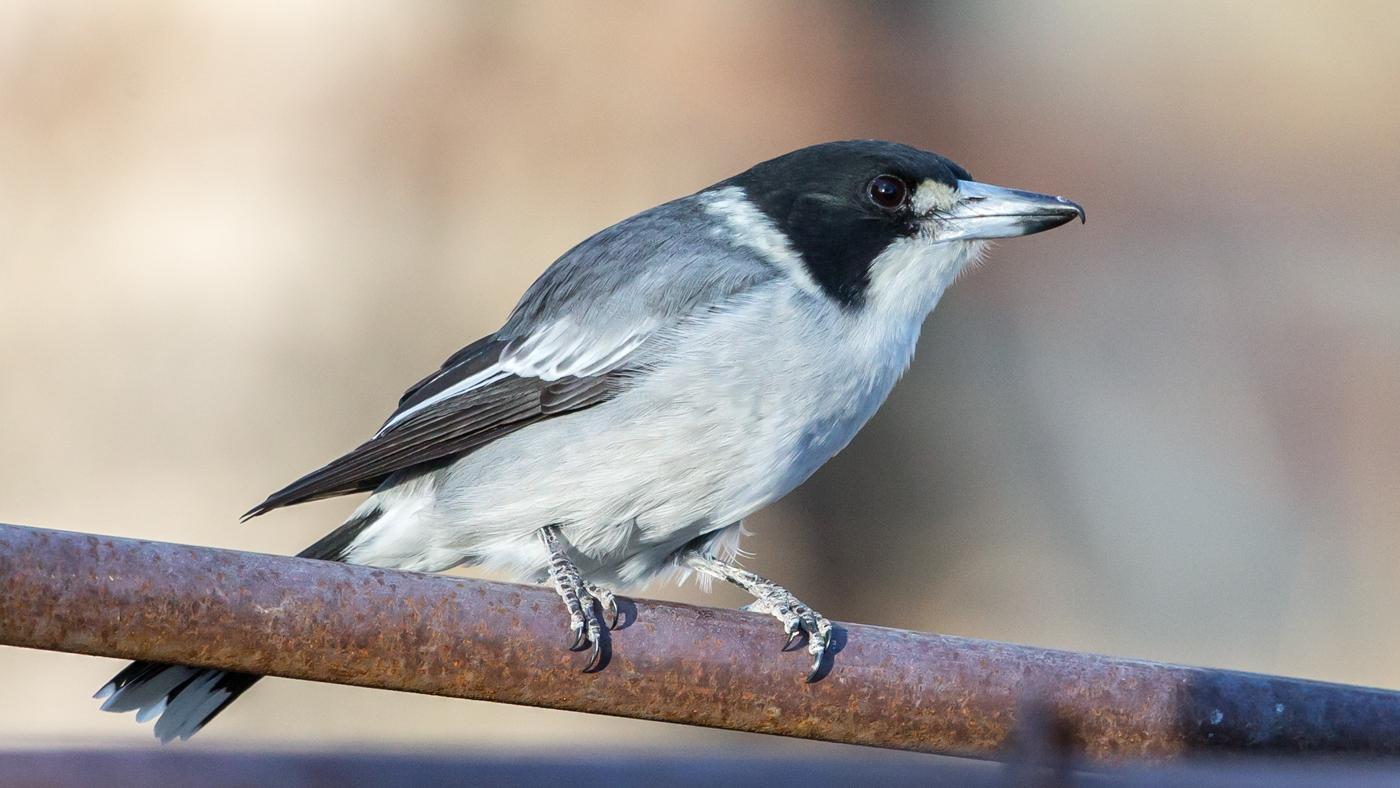 Grey Butcherbird (Image ID 34857)