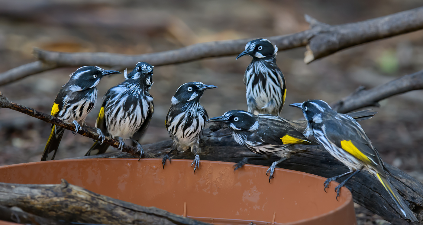 New Holland Honeyeater (Image ID 35042)