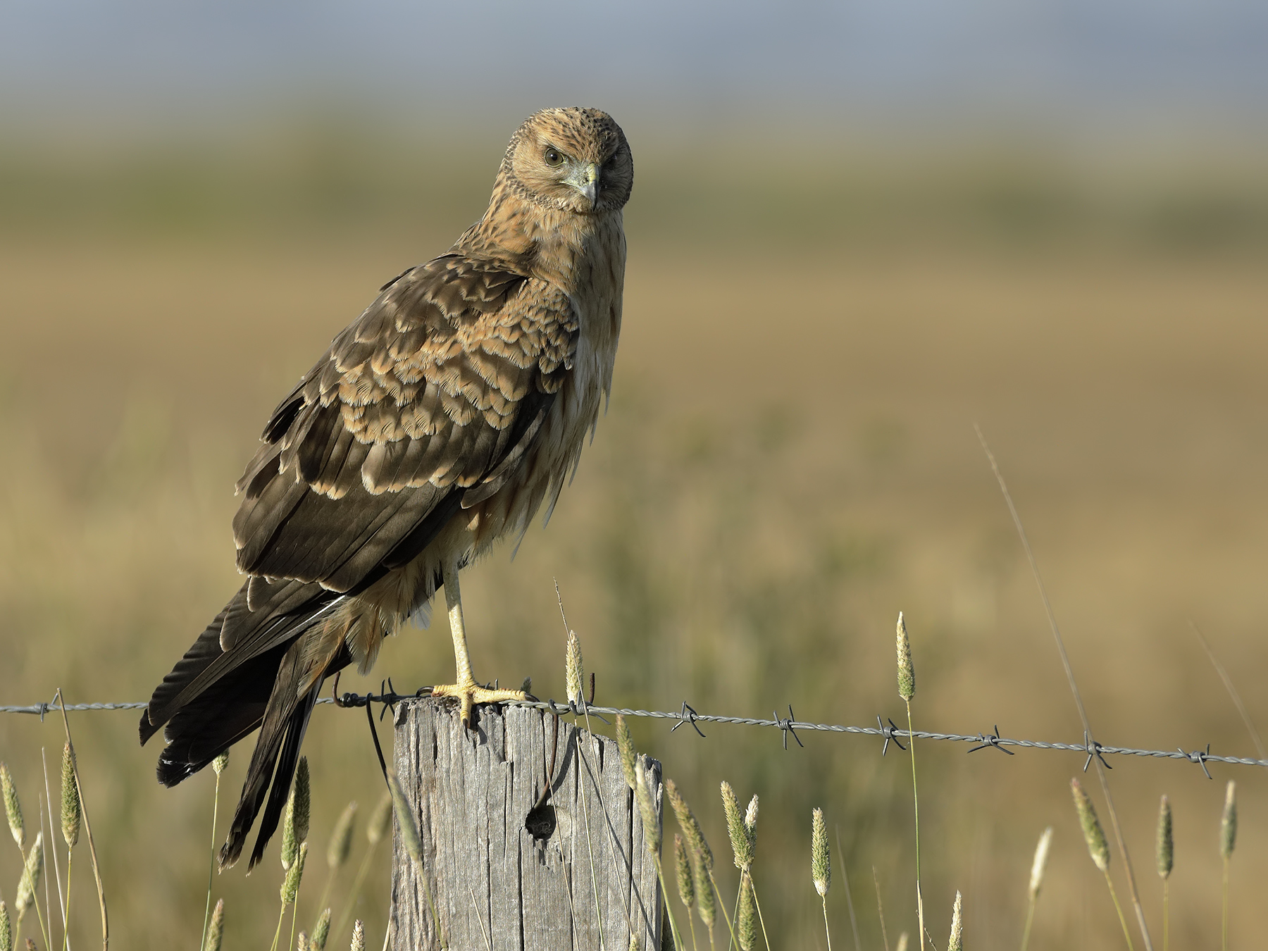 Spotted Harrier (Image ID 34704)