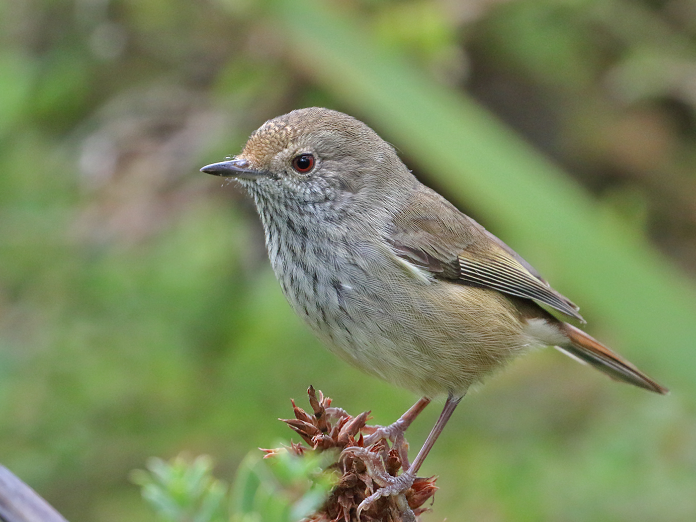 Brown Thornbill (Image ID 34956)
