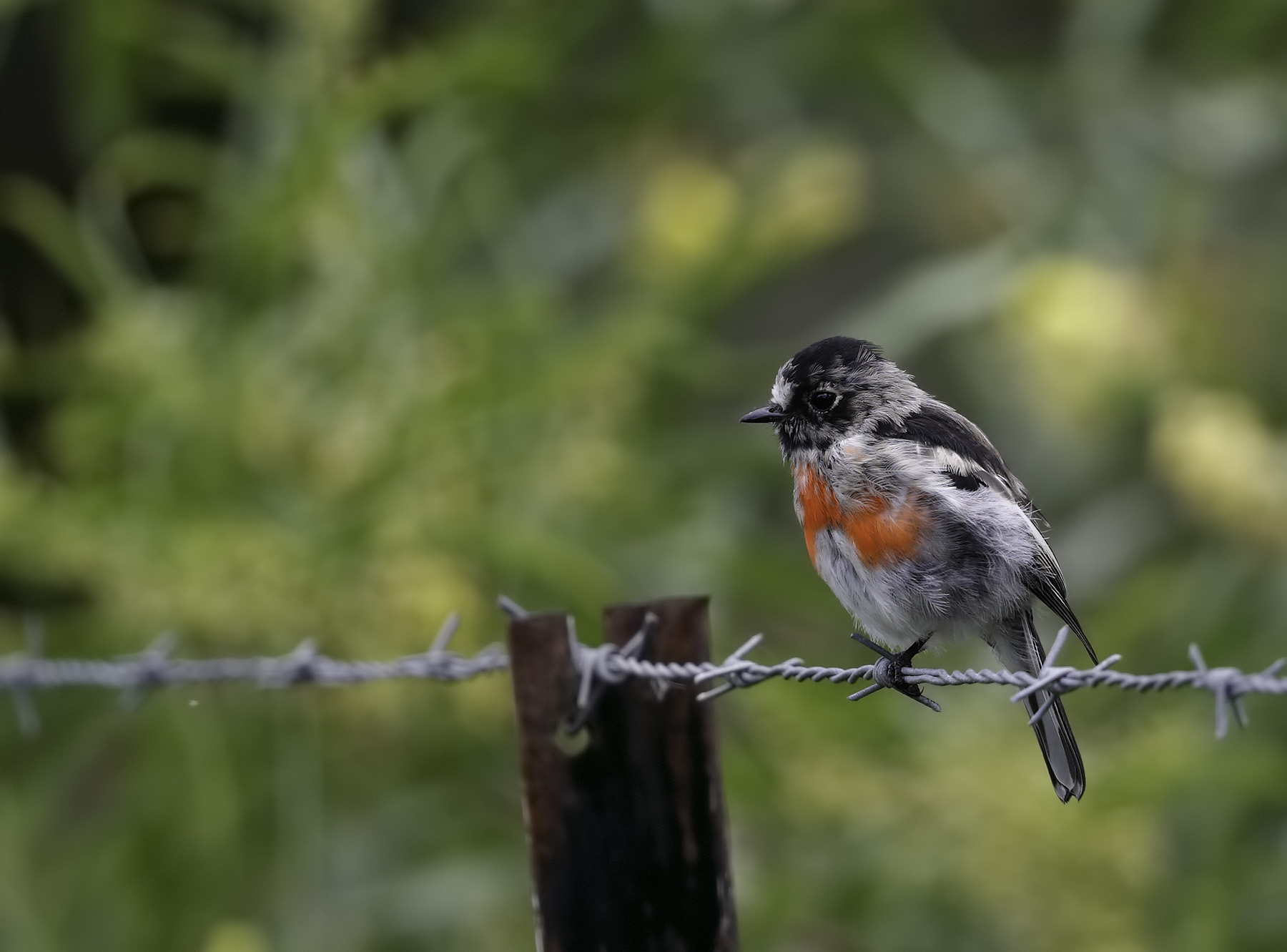 Scarlet Robin (Image ID 35070)