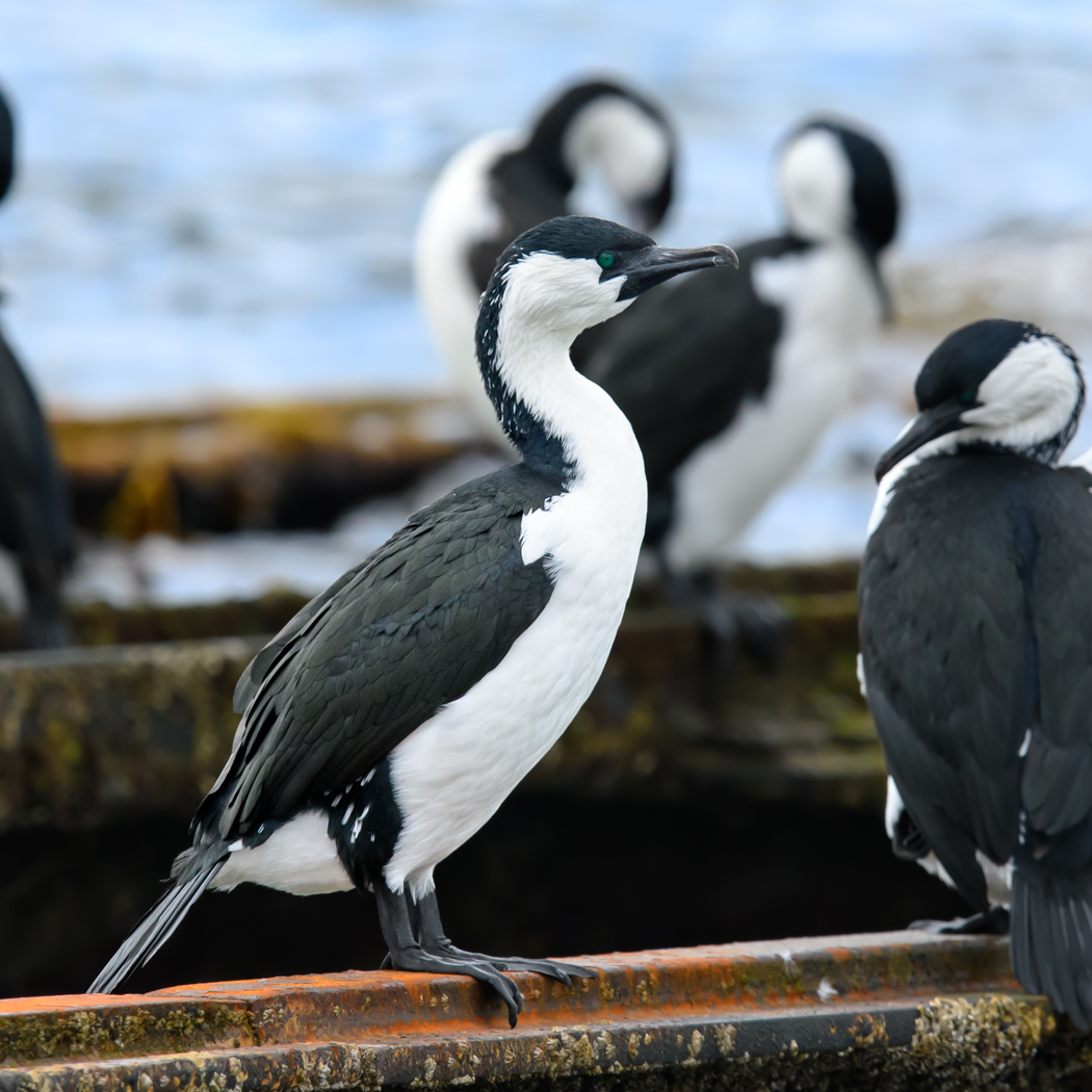 Black-faced Cormorant (Image ID 34995)