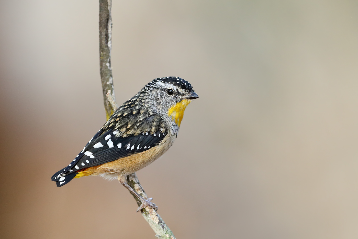 Spotted Pardalote (Image ID 35023)