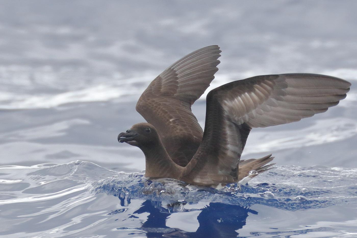 Tahiti Petrel (Image ID 34935)