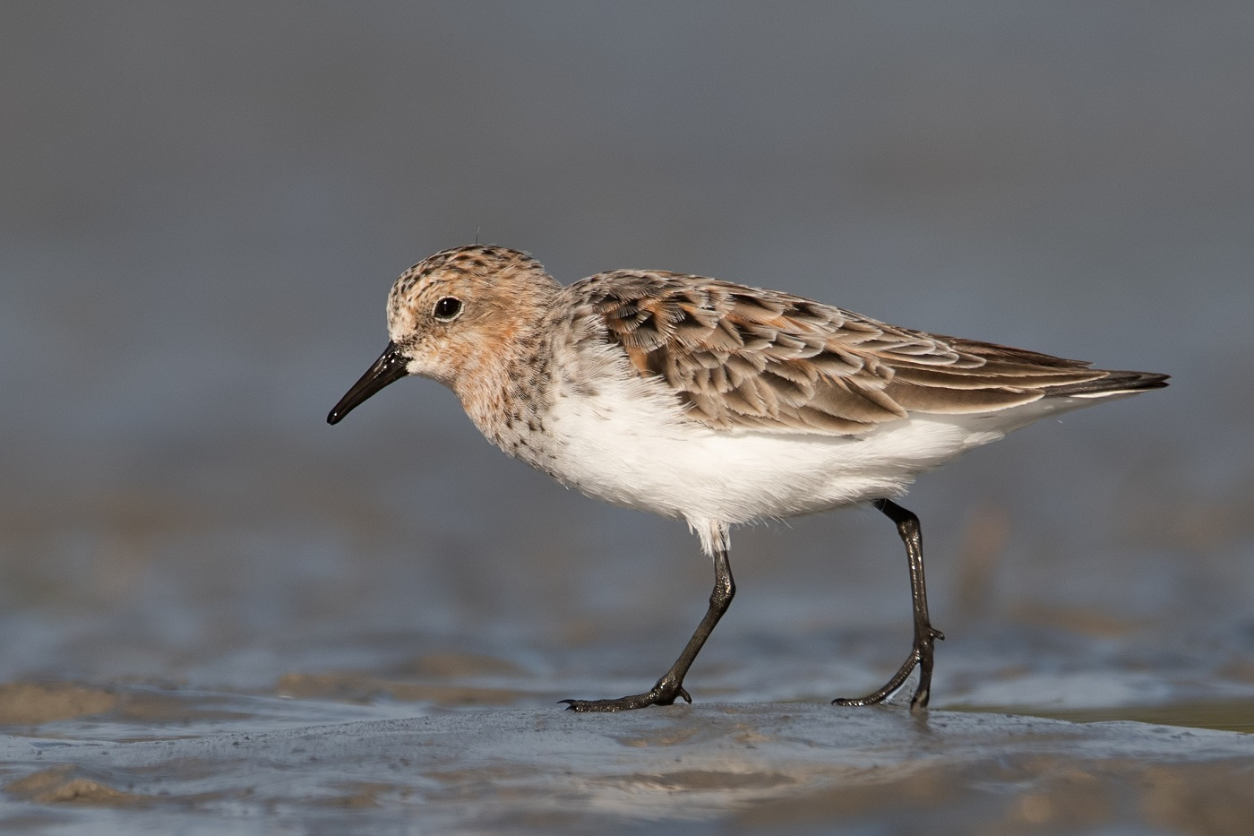 Red-necked Stint (Image ID 34960)