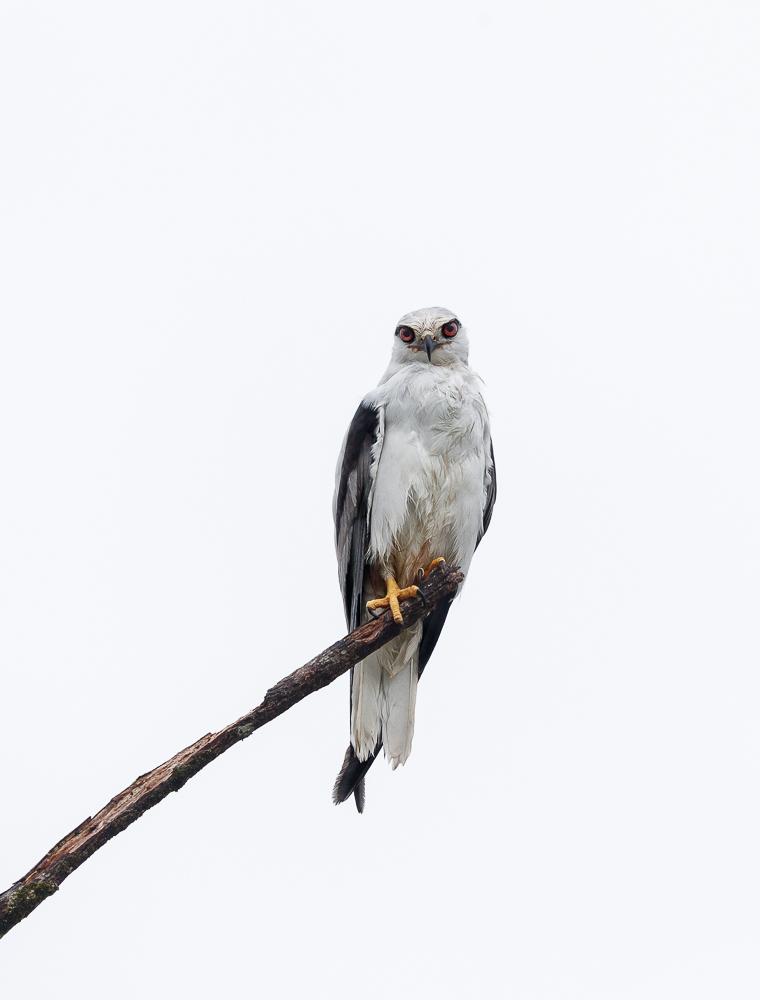 Black-shouldered Kite (Image ID 34747)