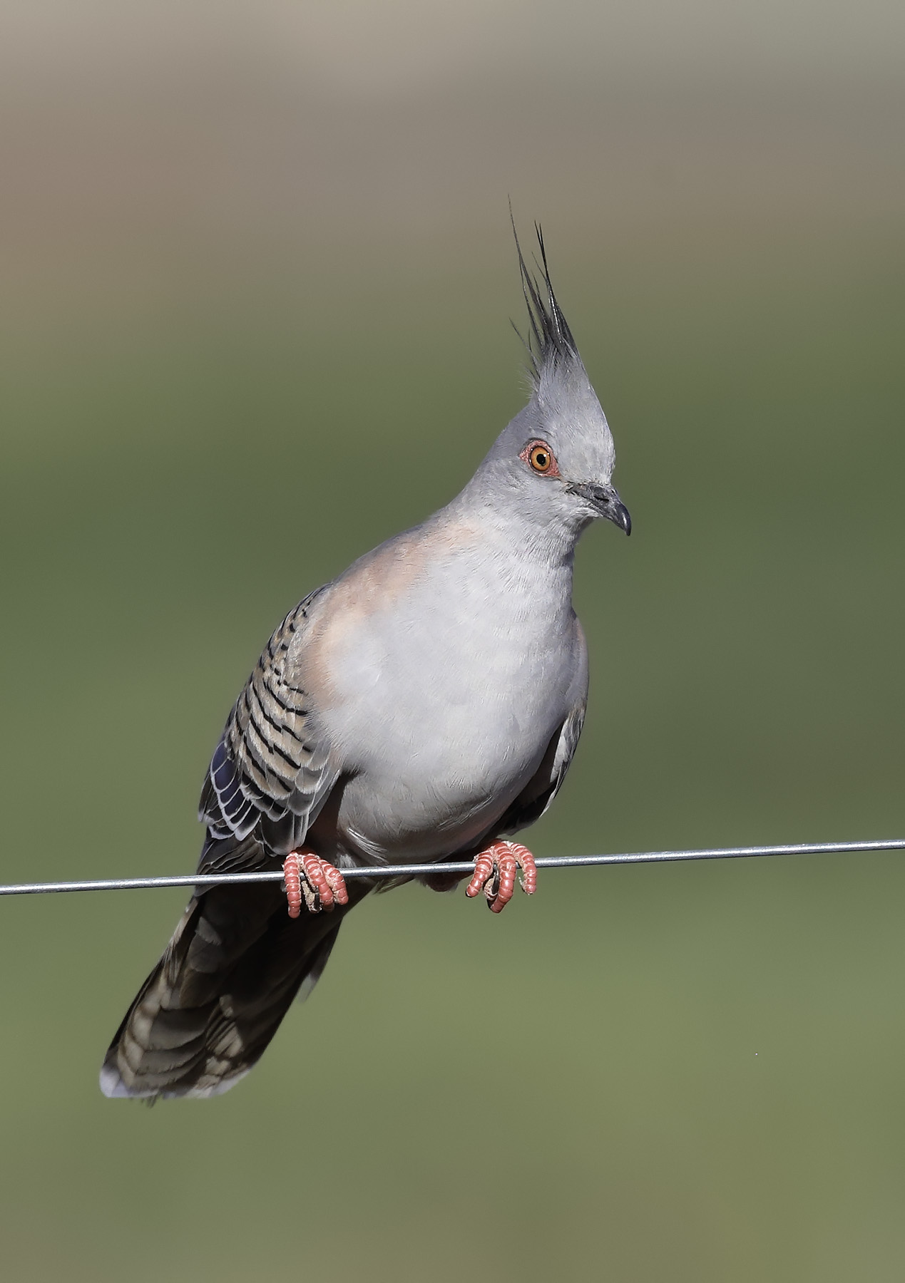 Crested Pigeon (Image ID 35061)