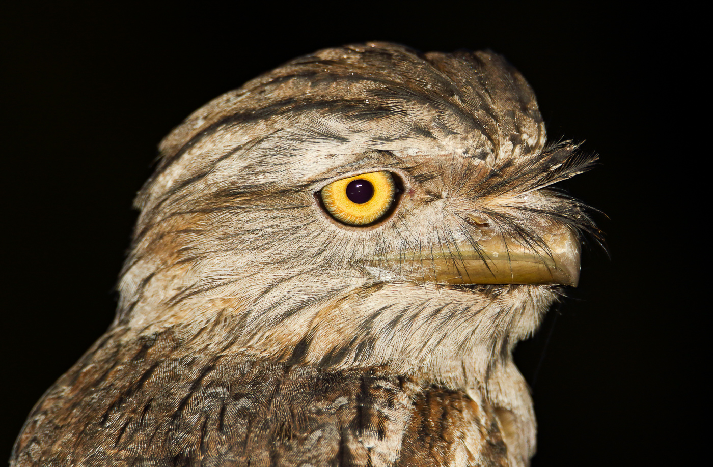 Tawny Frogmouth (Image ID 34832)