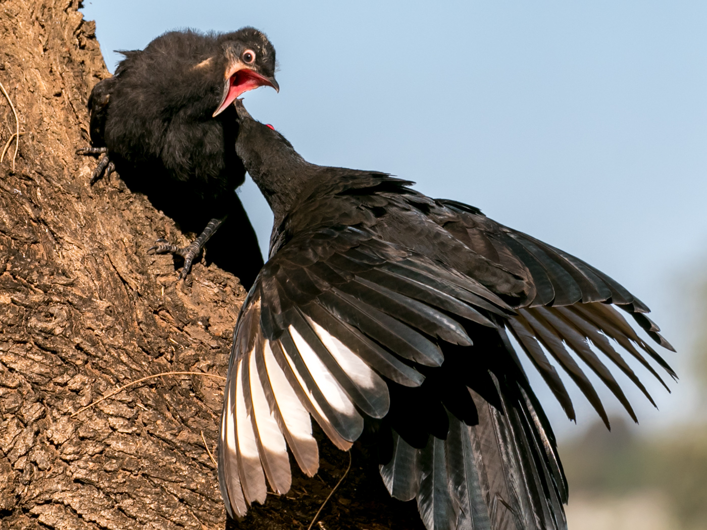 White-winged Chough (Image ID 34952)