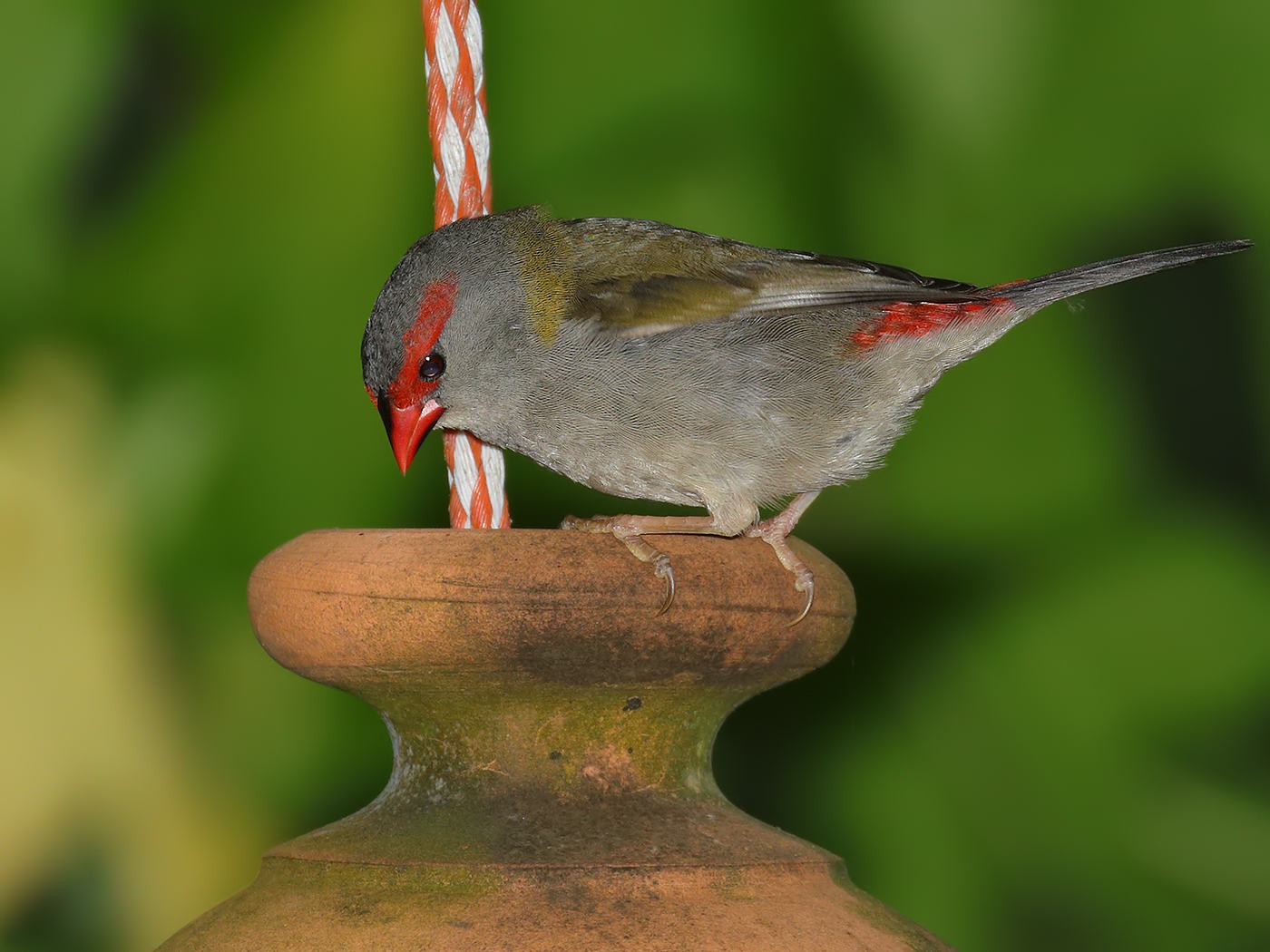 Red-browed Finch (Image ID 34791)