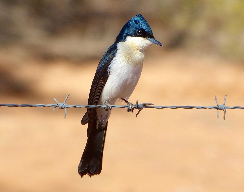 Restless Flycatcher (Image ID 34693)
