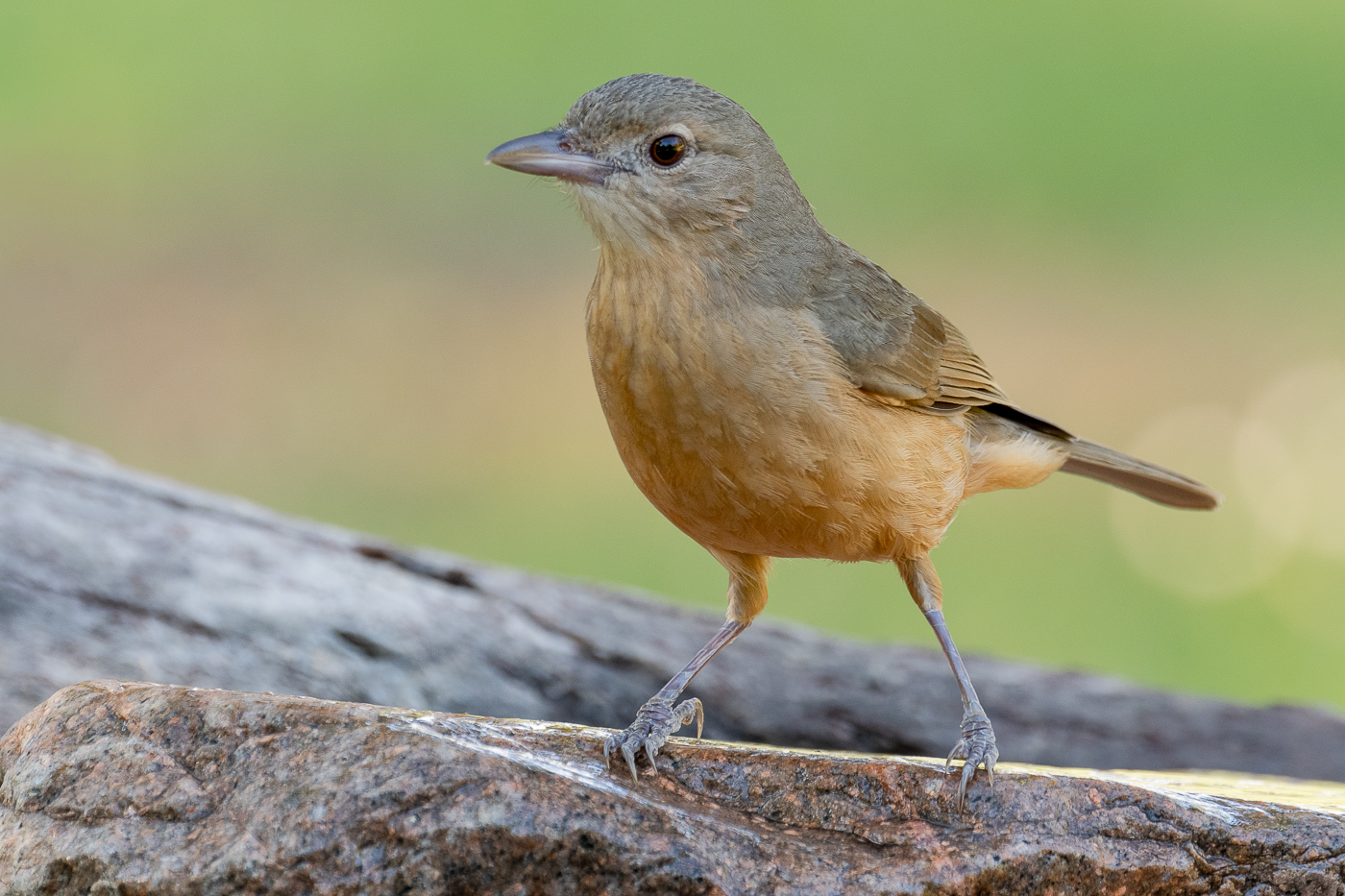 Little Shrike-thrush (Image ID 34807)