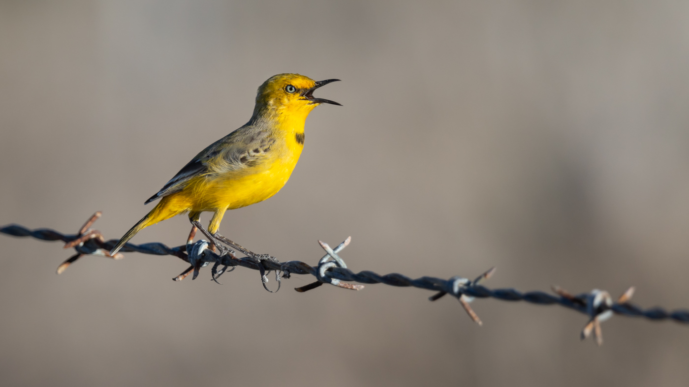 Yellow Chat (Image ID 35026)
