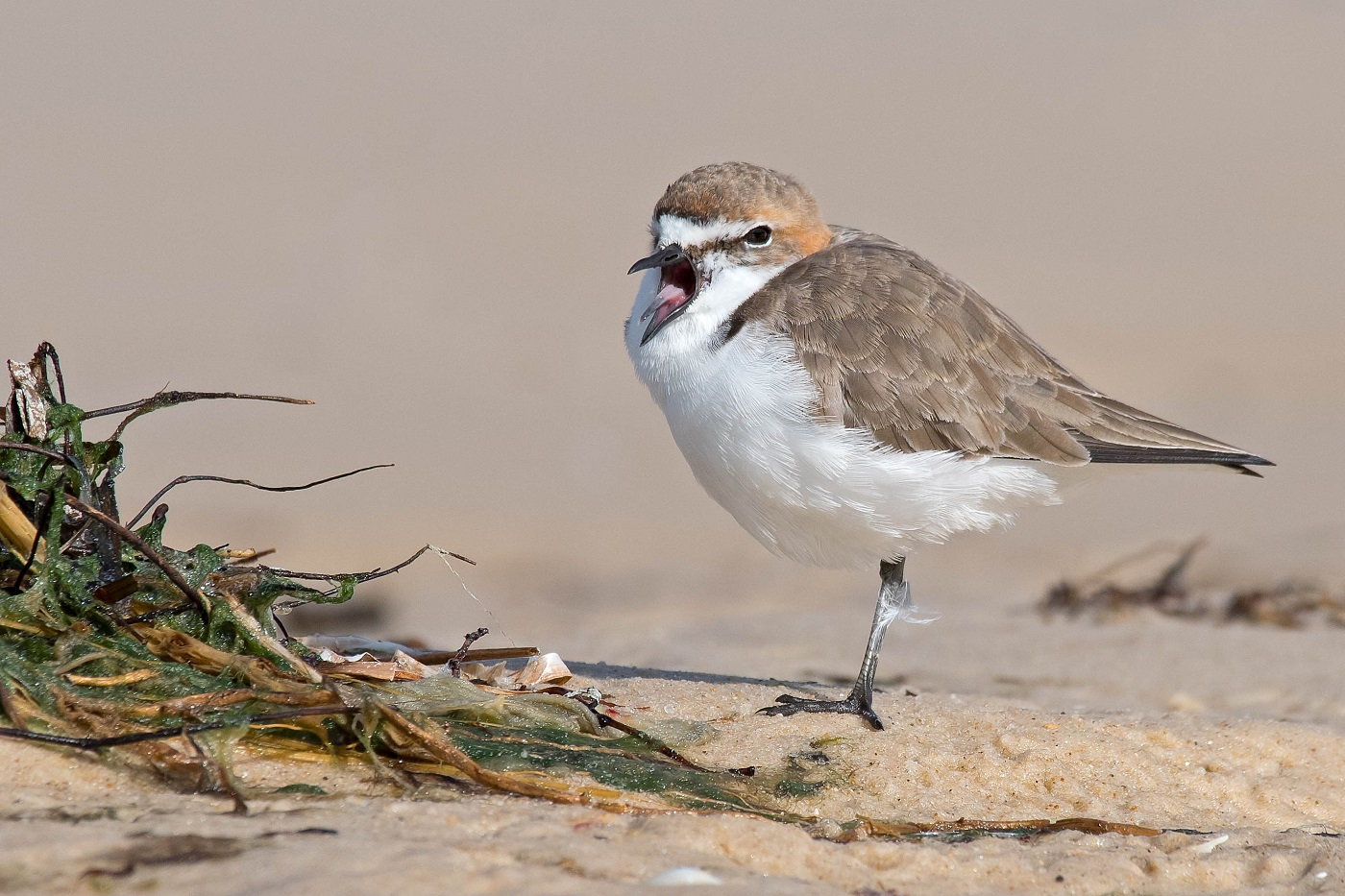 Red-capped Plover (Image ID 35032)