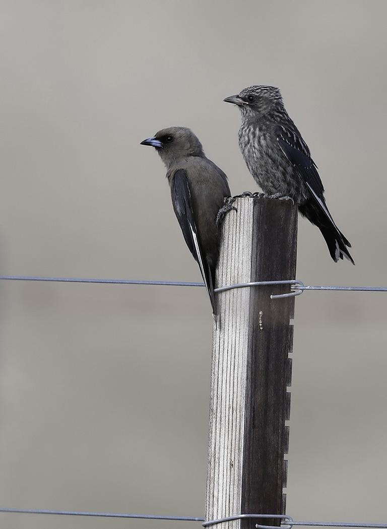 Dusky Woodswallow (Image ID 35071)