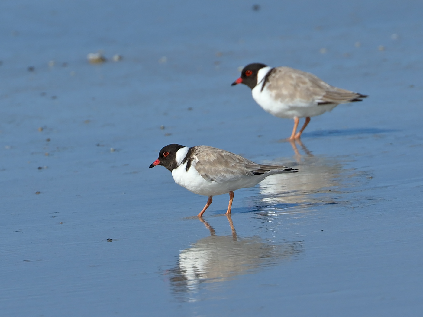 Hooded Plover (Image ID 34883)