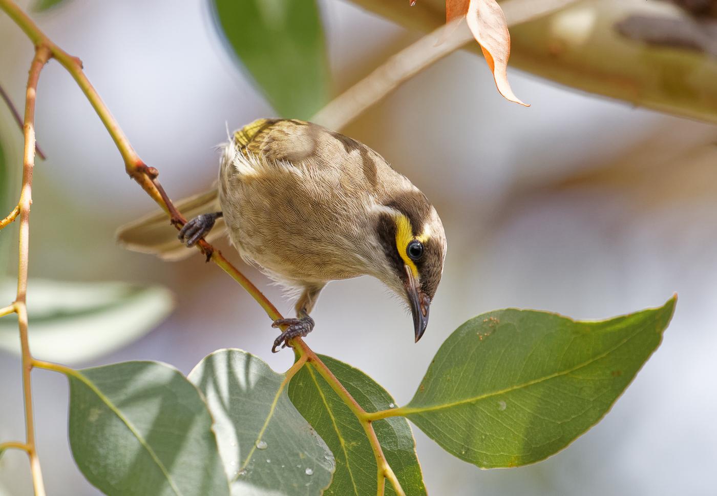 Yellow-faced Honeyeater (Image ID 34689)