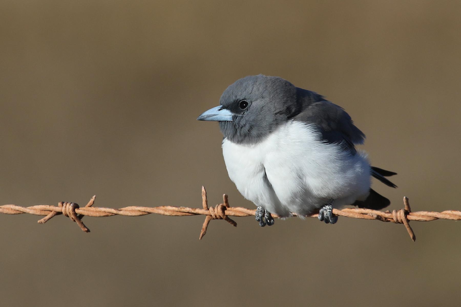 White-breasted Woodswallow (Image ID 35002)