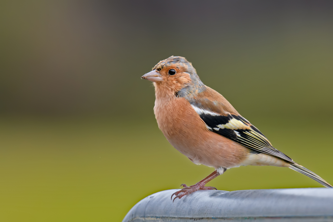 Common Chaffinch (Image ID 35050)