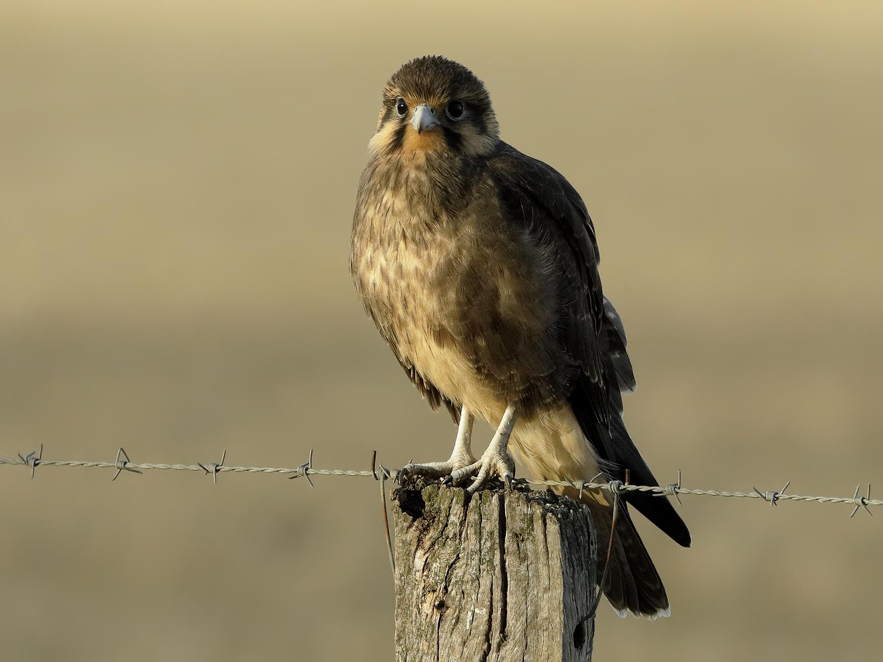 Brown Falcon (Image ID 34702)